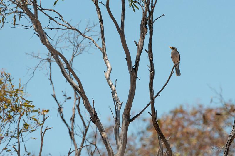 Black-eared Miner, Gluepot, SA, Nov 2014.jpg