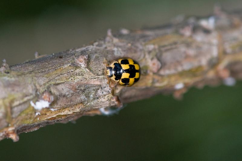 20080514as20-35-07 Propylea quatuordecimpunctata, sjakkbrettmarihøne