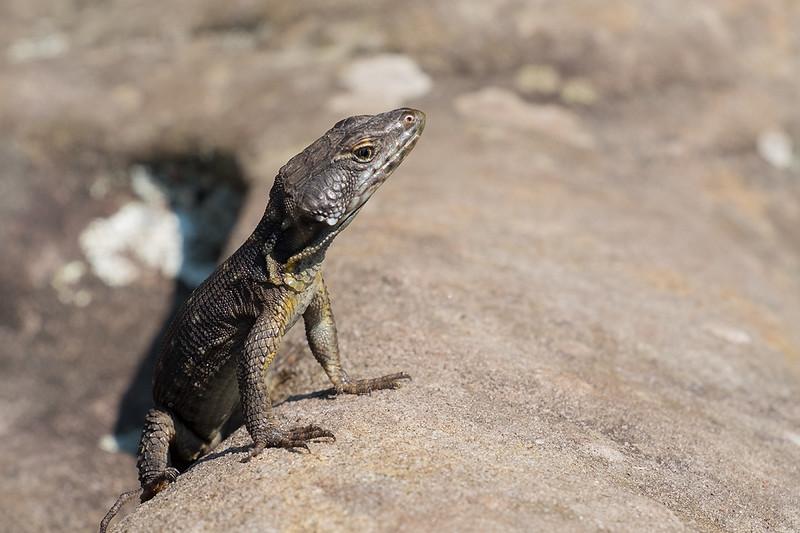 Lizard 1703032343.jpg