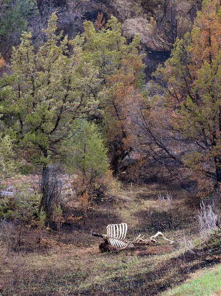 Bison carcass skeleton bones Teddy Roosevelt National Park ND IMG_9386.CR2.jpg