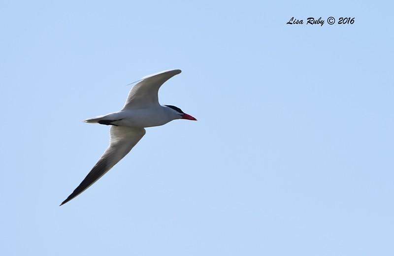Caspian Tern - 7/10/2016 - San Dieguito Lagoon mouth