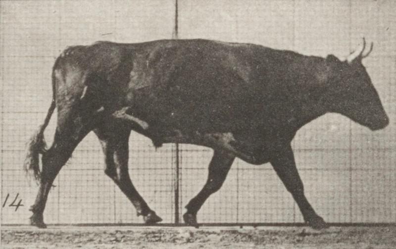 Ox trotting