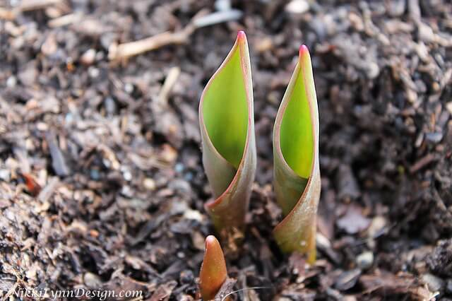 In the Spring In the spring, after the snow melts I go and remove the hardware cloth so the plant can emerge from the soil.