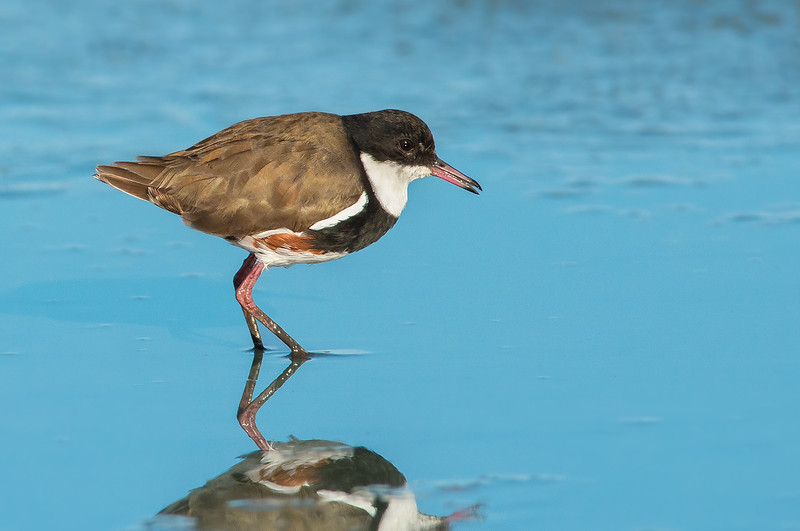 Red-kneed Dotterel - Erythrogonys cinctus (Western Treatment Plant, Vic)