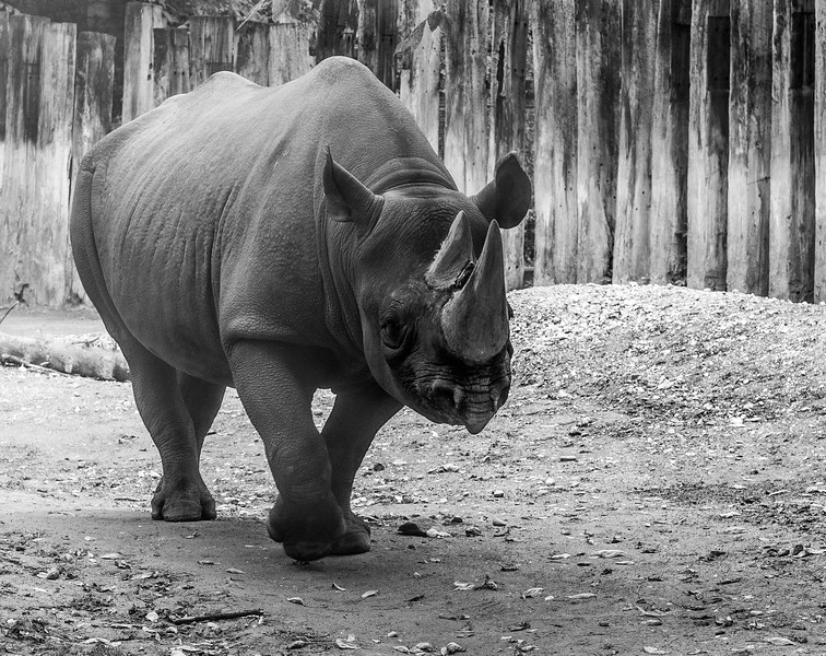 Rhino in Cologne Zoo