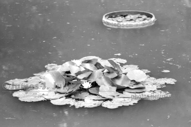 Lilly Pads in Pond BW