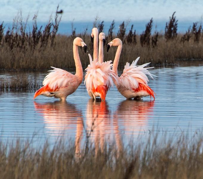 El Calafate_Birds_Flamingos-3.jpg