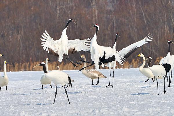 Red Crowned Cranes Japan 2019