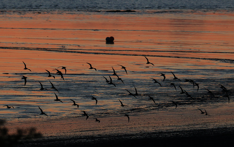 Whimbrels on the wing.jpg