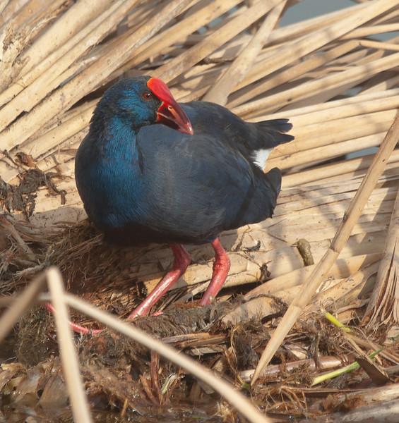 Purple Gallinule - Purperkoet