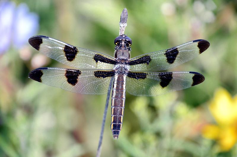 Dragonfly-SFBJuly2015.jpg