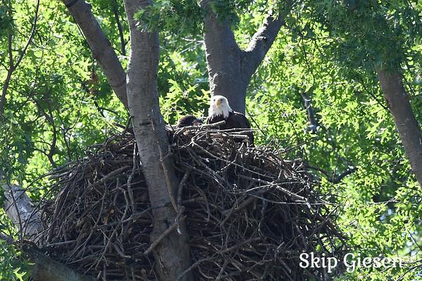 20 Baby Eagles in Avon Lake