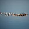 Island of gulls at Assateague Island National Seashore