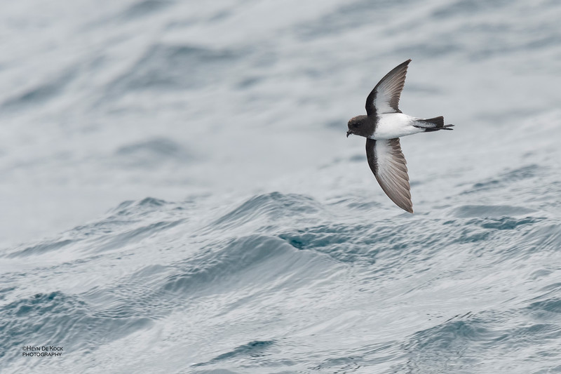 Grey-backed Storm-Petrel, Eaglehawk Neck Pelagic, TAS, Dec 2019-2.jpg