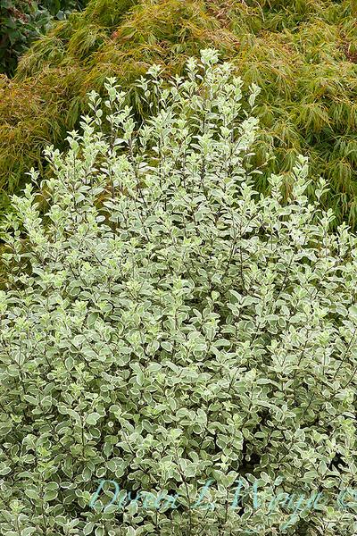 Pittosporum tenuifolium Marjorie Channon_022.jpg