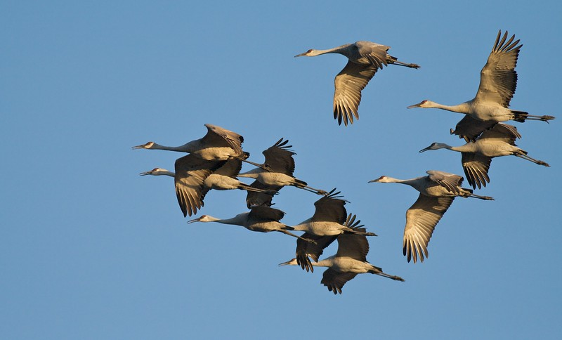 Flock of calling Sandhill Cranes come to roost at sunset at Crex Meadows [October near Grantsburg, Wisconsin]