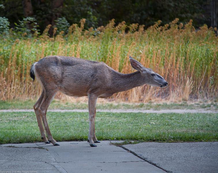 Deer at Ahwahnee Lodge