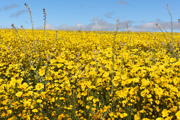 Super Bloom at Carrizo Plain
