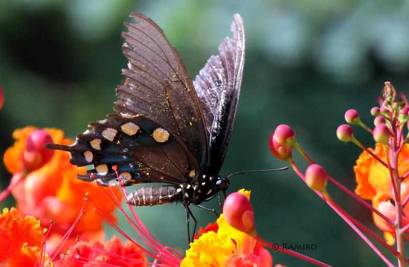 Butterfly IMG_7583.jpg
