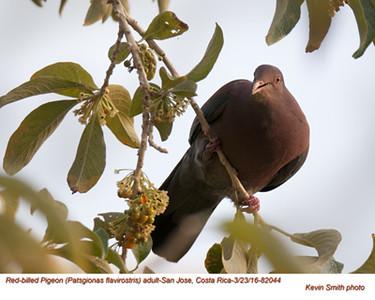 Red-billed Pigeon A82044.jpg
