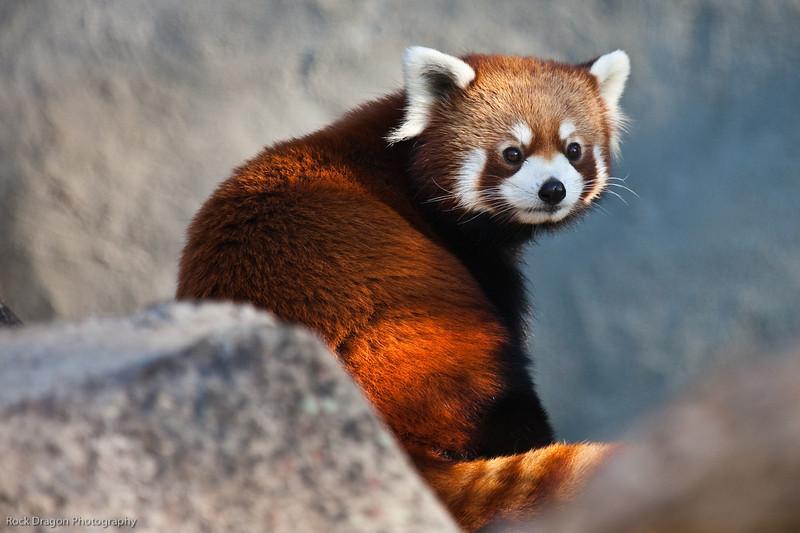Red Panda, Calgary Zoo, Sept. 27