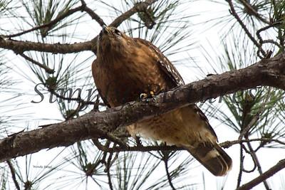 Hawk  032