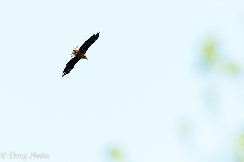 juvenile Bald Eagle Haliaeetus leucocephalus