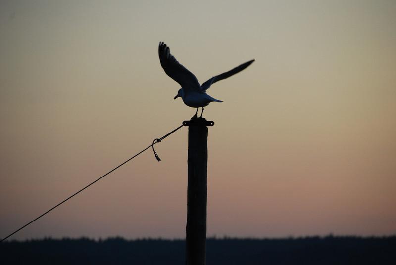 Seagull - 3