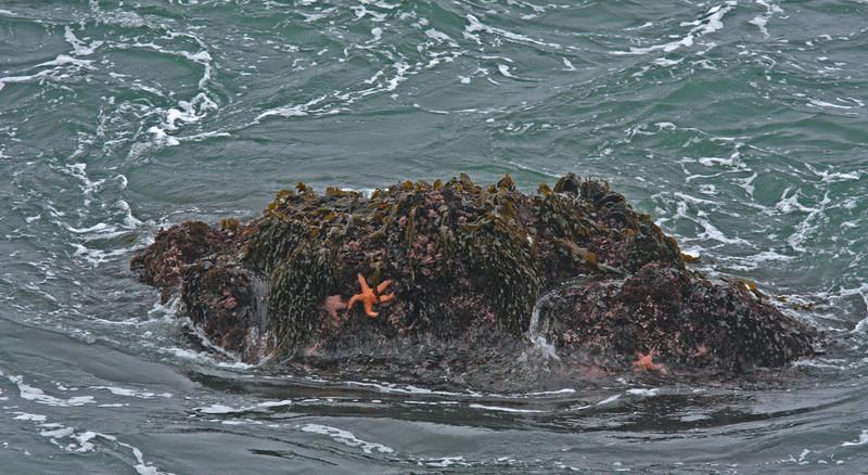 WB~Bodega Bay starfishrockl280.jpg