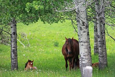 WILD  HORSES  OF  ALBERTA   June 24, 2019