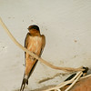 Barn swallow resting on electrical cable