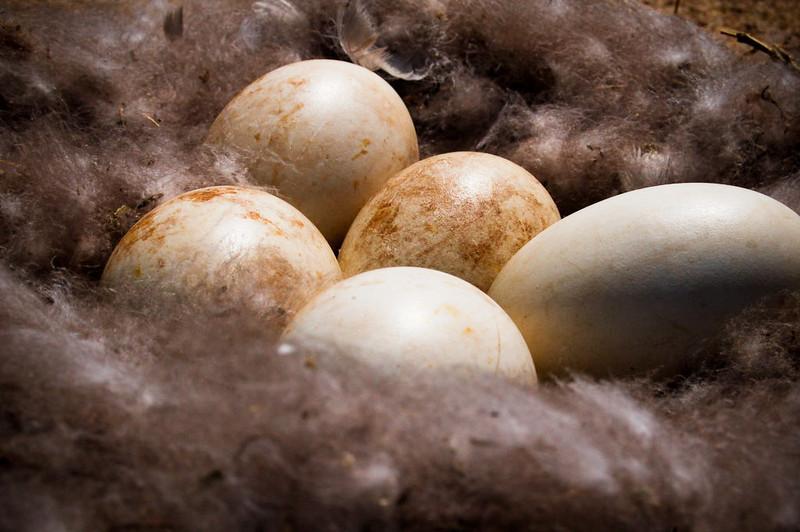 goose_eggs_by_victorg6546.jpg