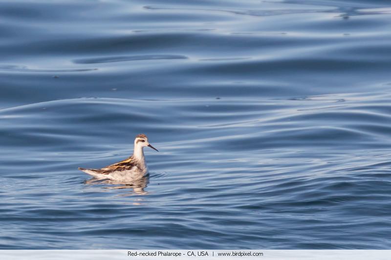 Red-necked Phalarope - CA, USA
