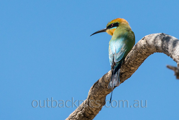 Bee-eater, Dollarbird