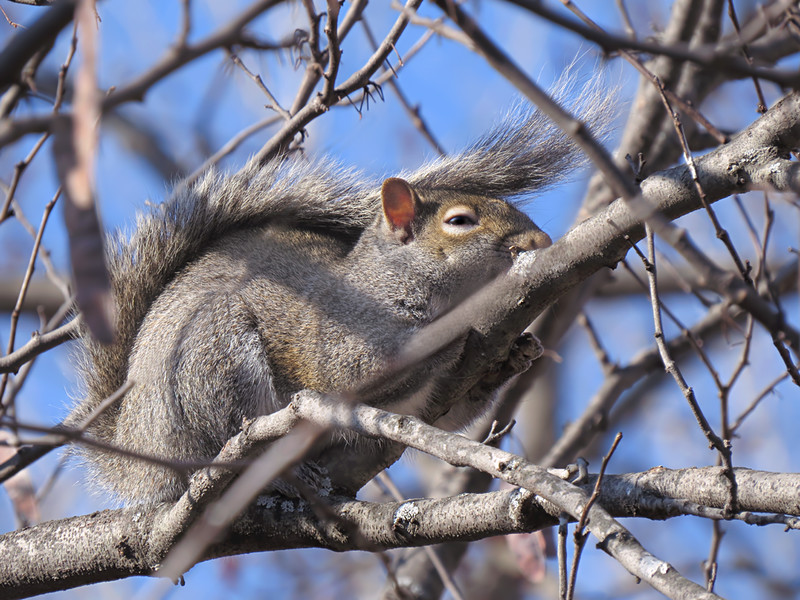sx50_squirrel_fauna_064.jpg