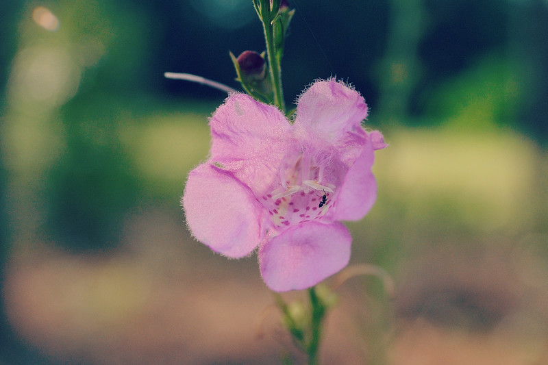 Slenderleaf false foxglove being inspected by an ant.