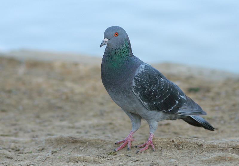 1876 Pigeon.jpg