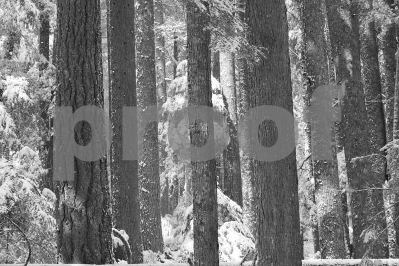 """""""old growth"""" , """"Douglas fir"""","""