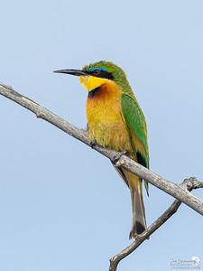Portrait of a Little Bee-eater