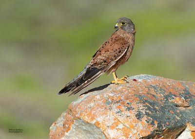 Rock Kestrel (Falco rupicolus)