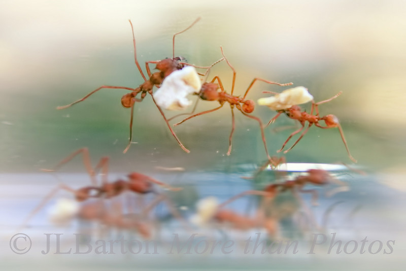 Ants carrying cereal instead of leaves.