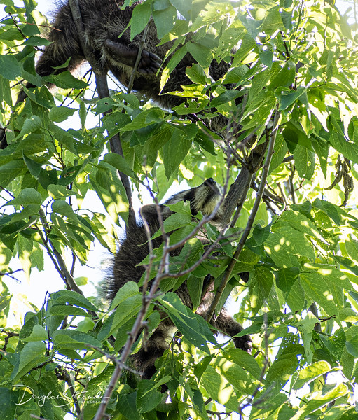 Five racoons up a tree