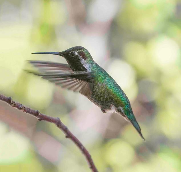 Hummingbirds-8.jpg