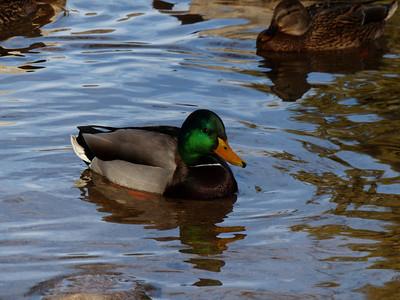 Hesperia Lake Ducks
