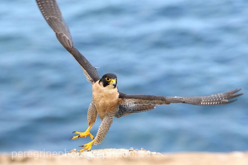 Peregrine Taking Flight