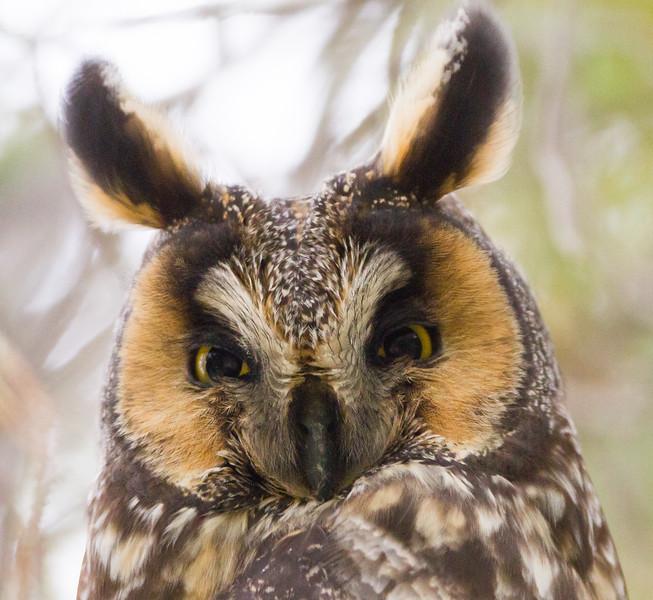 Long-eared Owl - Mercey Hot Springs, CA, USA