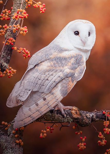 s 5x7 Autumn Owl.jpg