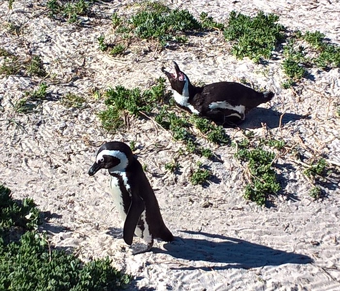 Some were making themselves heard (they are nicknamed the jackass penguins so you can imagine how they sound) and some were just waddling along.