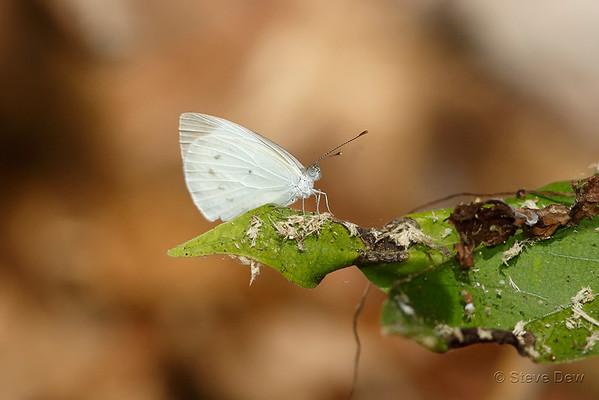 Small Pearl-white