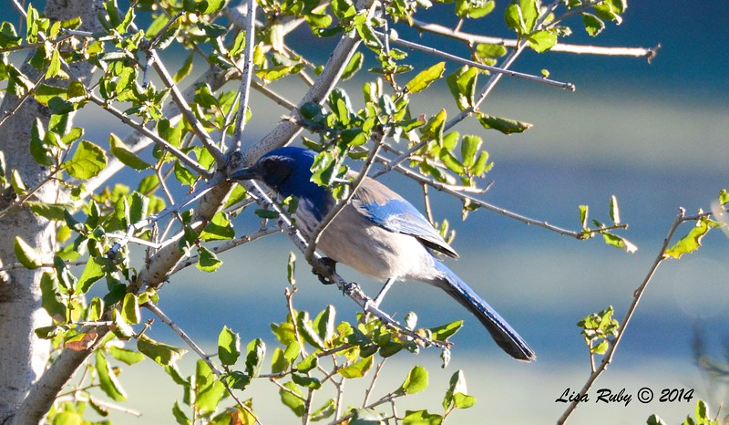 Scrub Jay - 12/29/2014 - William Heise County Park, Julian